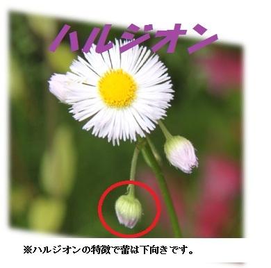 ハルジオンの画像 p1_27