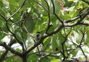 シジュウカラ(幼鳥) (2)