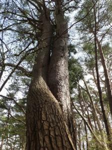 縁結びの木